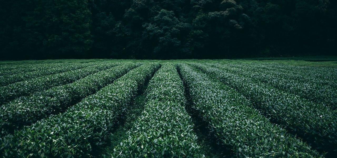 A zöld tea 5+1 szuper, és 3 kevésbé jó hatása